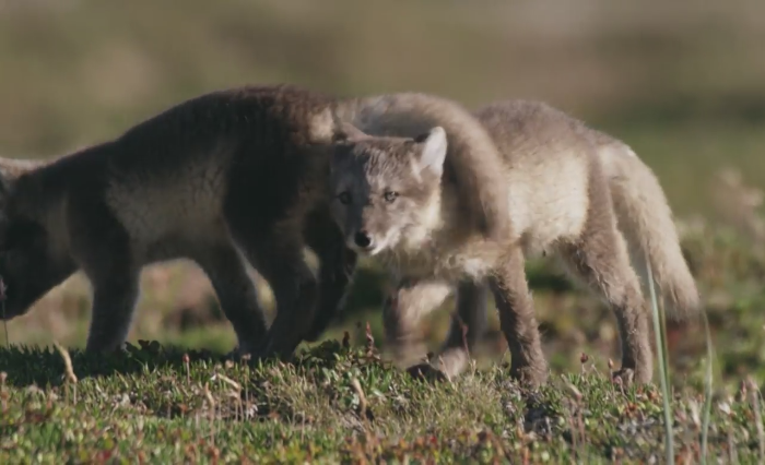 Video: These adorable fox pup can't resist stardom