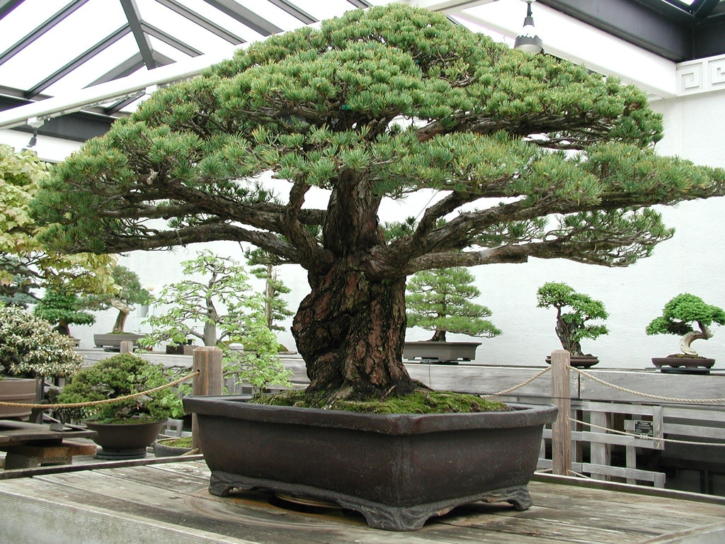 Nearly 400-Year-Old Bonsai Tree that survived the Hiroshima Blast - spicedpumpkins - bit.ly:2heP6sQ