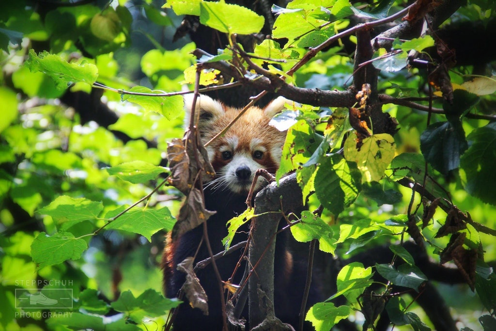 Curious Red Panda - Steppschuh - bit.ly2FrkyKW