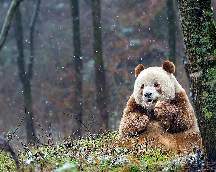 Qizai, the only brown panda in the world - Tonnyty - bit.ly2rtpOM9