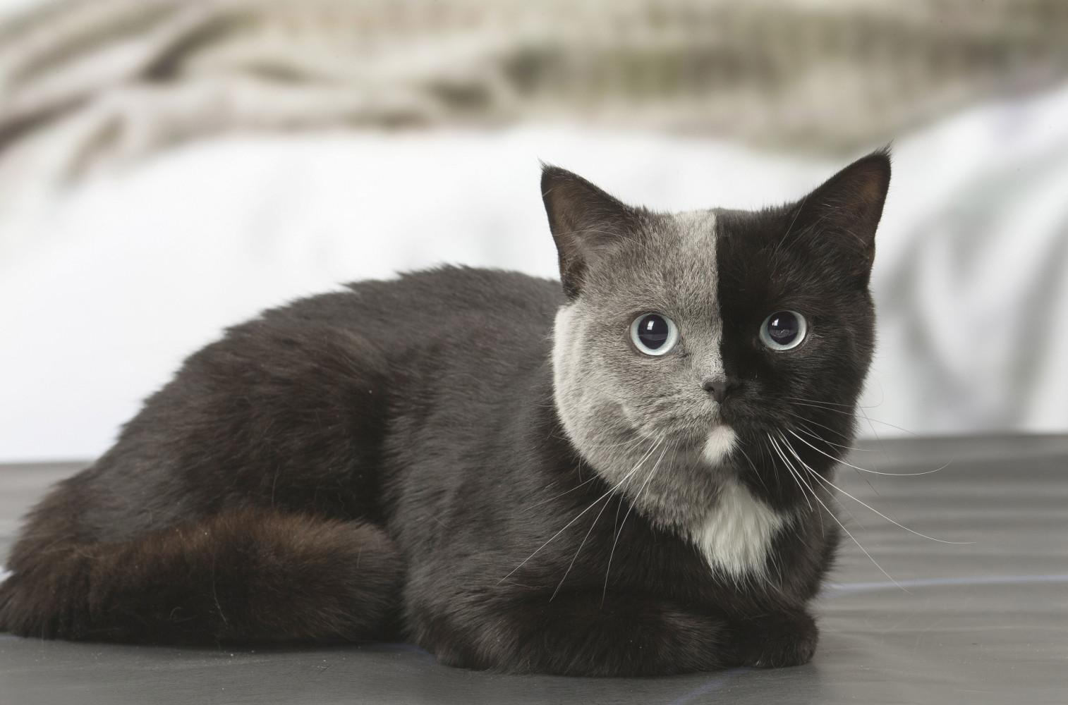 This cat with a bi-colored face - Elelegante101 - bit.ly2sVmfPn
