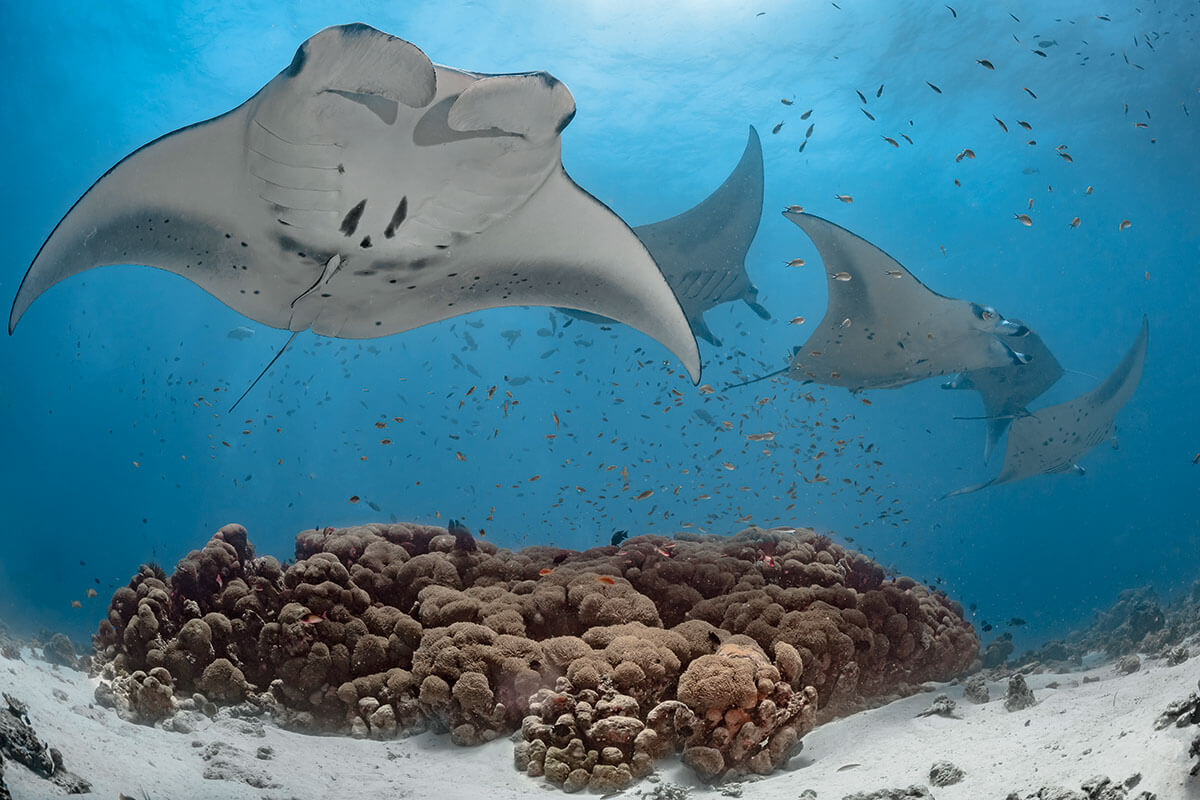 Republic of Maldives Manta Rays in the Indian Ocean - trot-trot - bit.ly2H8ulru