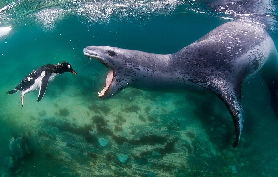 This leopard seal snacking on a penguin - anoymoustortoise - bit.ly2InH88V