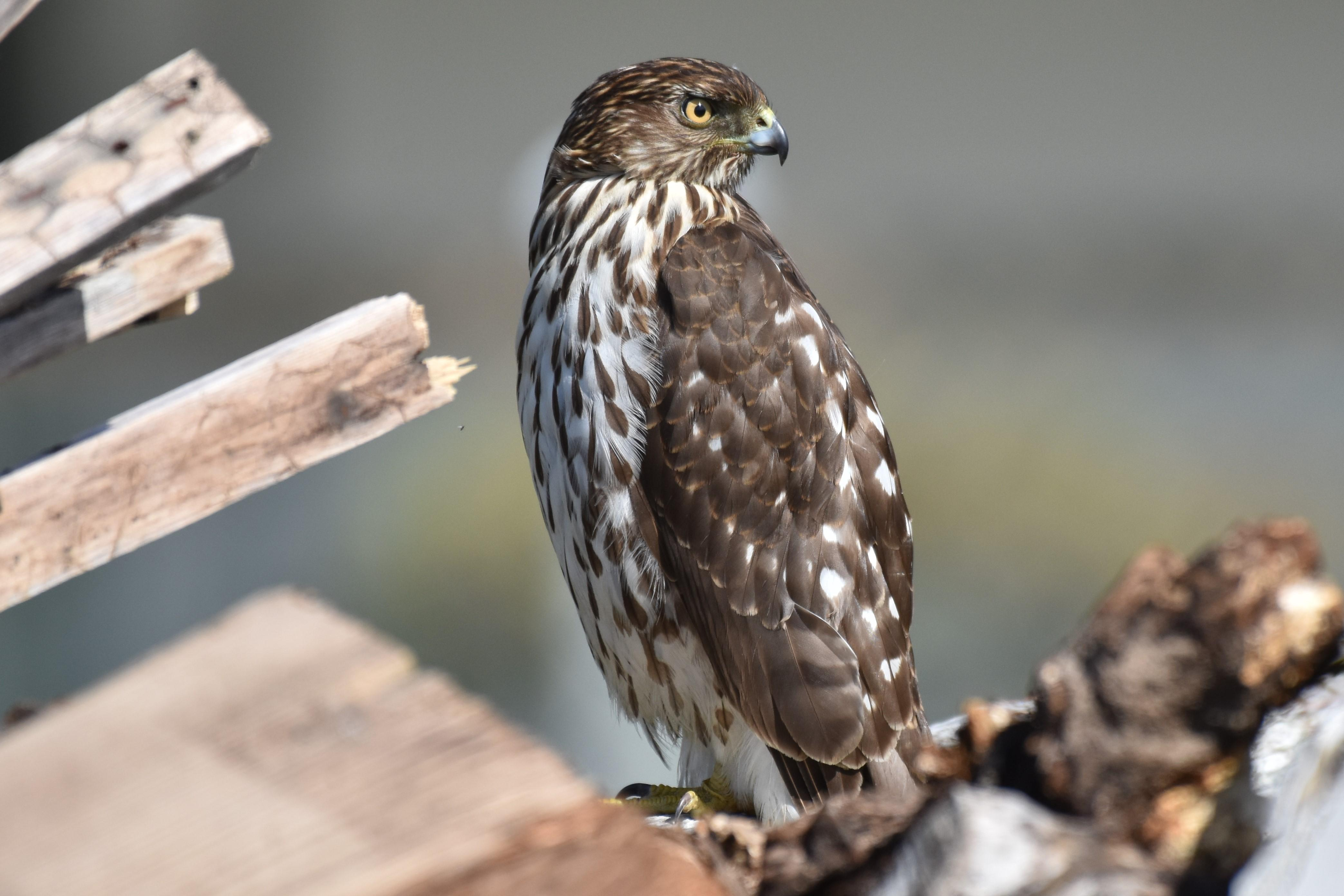 Cooper's Hawk. Sitting in our back yard Parksville BC - reddogger56 - bit.ly2IVK9O8