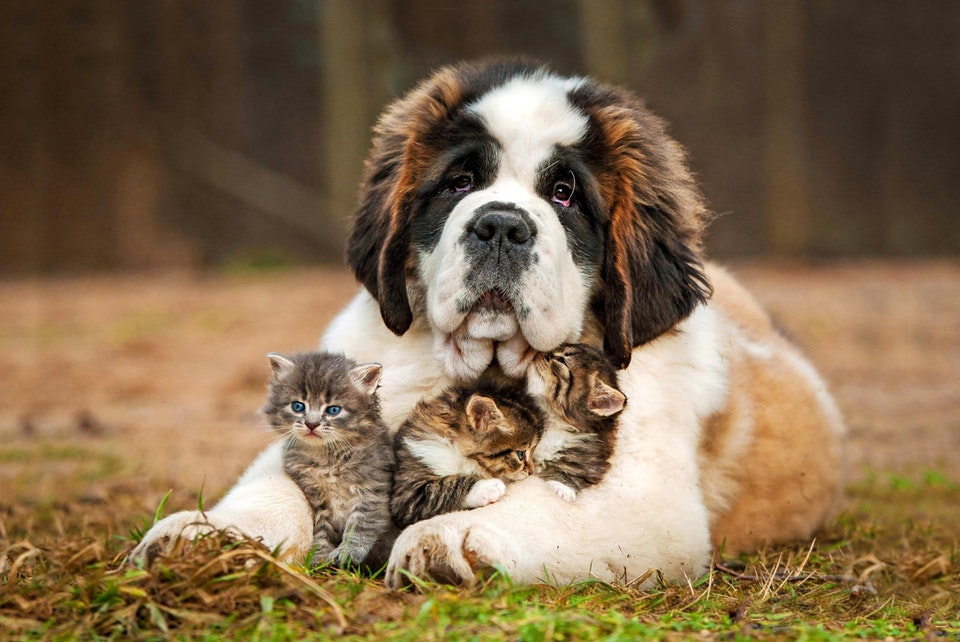 Doggo is so relaxed and happy with the adopted kittens - watsin_aname - bit.ly2rZGTu2