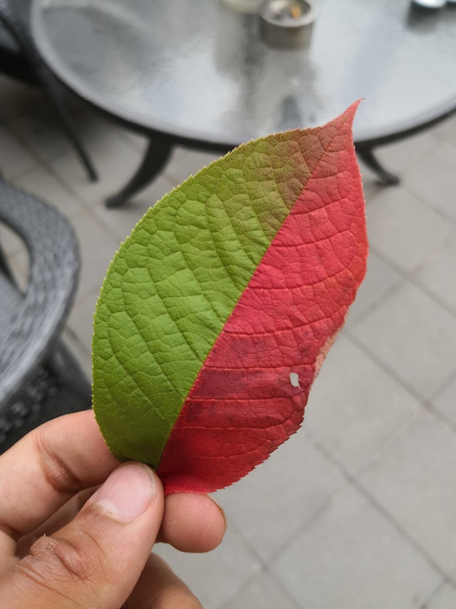 A half-red half-green leaf - MathiasKK - bit.ly2KWIR9W