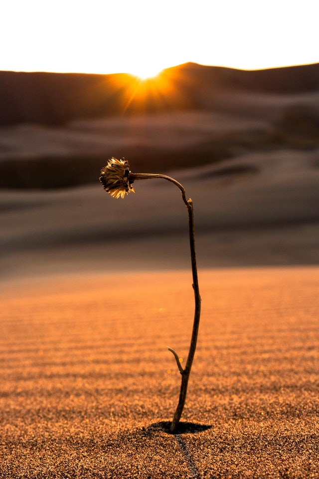 A Withering Flower Alone in the Great Sand Dunes, Colorado - SPYALEX8 - bit.ly2Mht56j