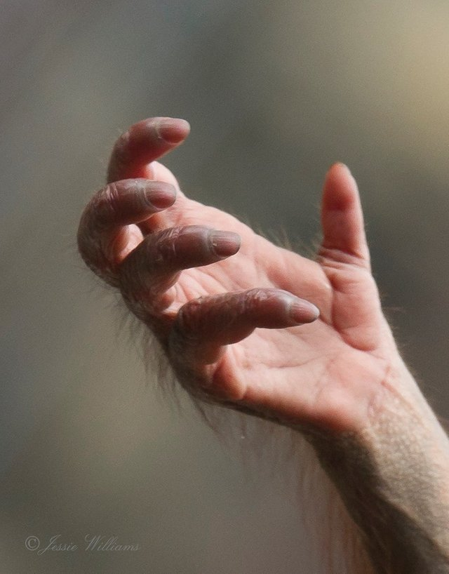 The hand of a young orangutan
