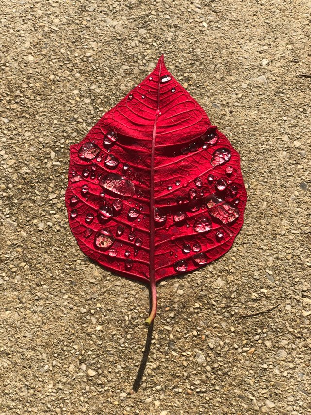 This wet, red leaf on the sidewalk