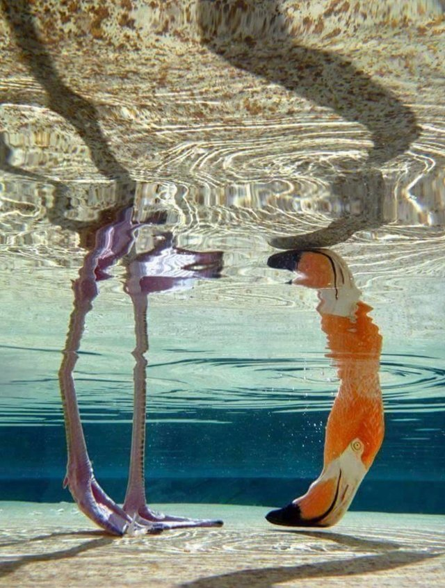 Flamingo under water