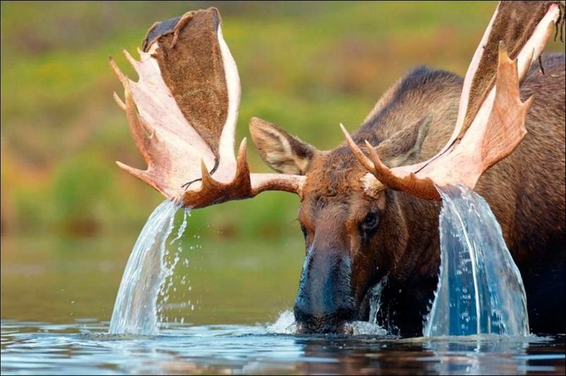 Moose creating a waterfall off its antlers
