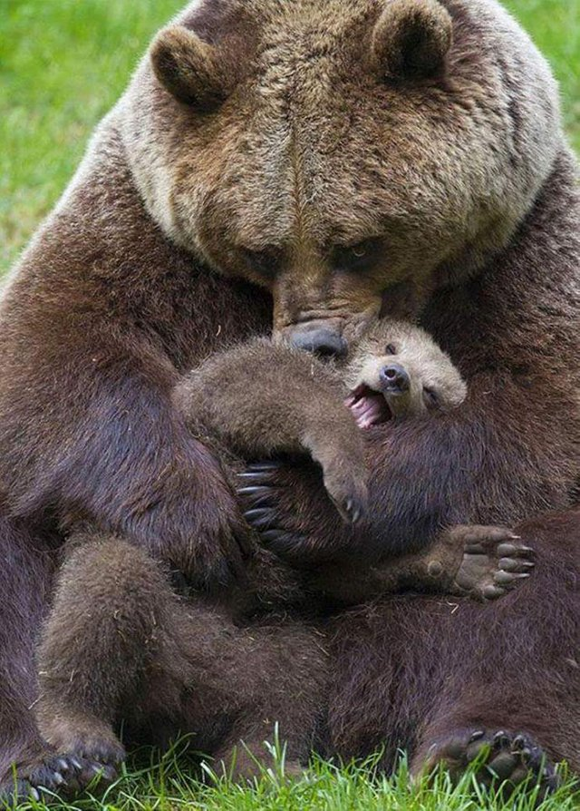 Mother bear snuggling her cub