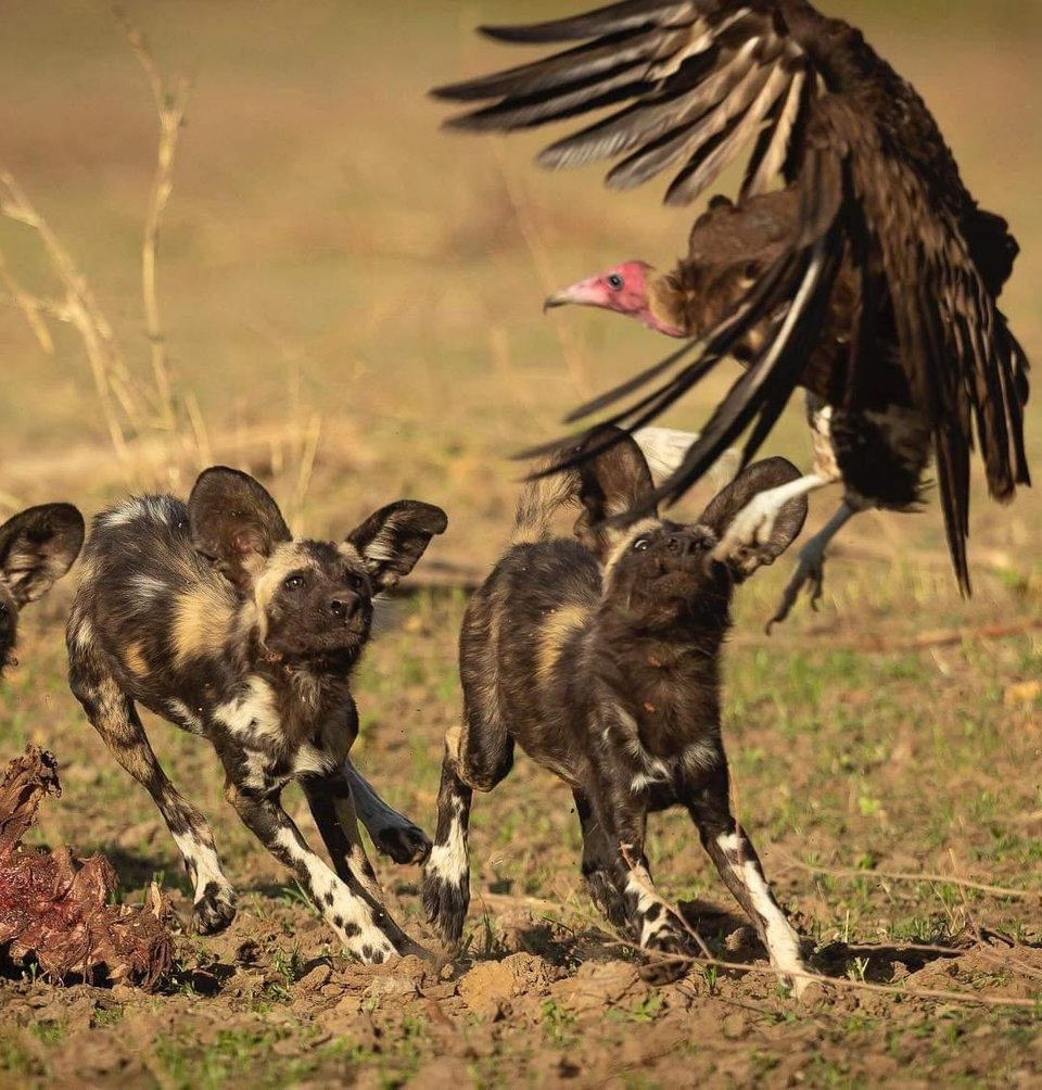 Painted wolf juveniles optimistically thinking they can catch a vulture