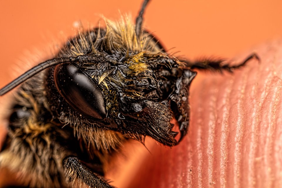 Female Red Mason Bee