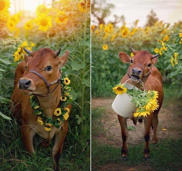 I'm cow lover, will society accept me