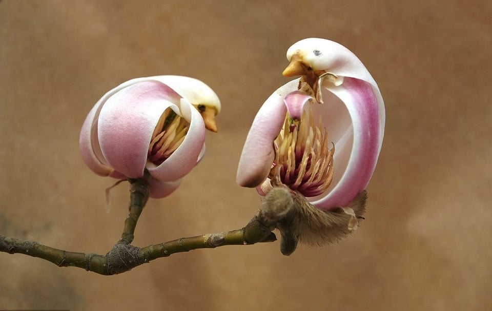 Bird-shaped Magnolia flowers in Beijing, China
