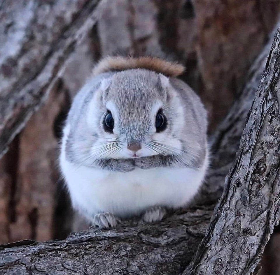 Gorgeous little Russian flying squirrel