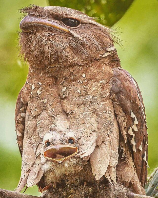 A young Large Frogmouth peeking out of their mother's feathers