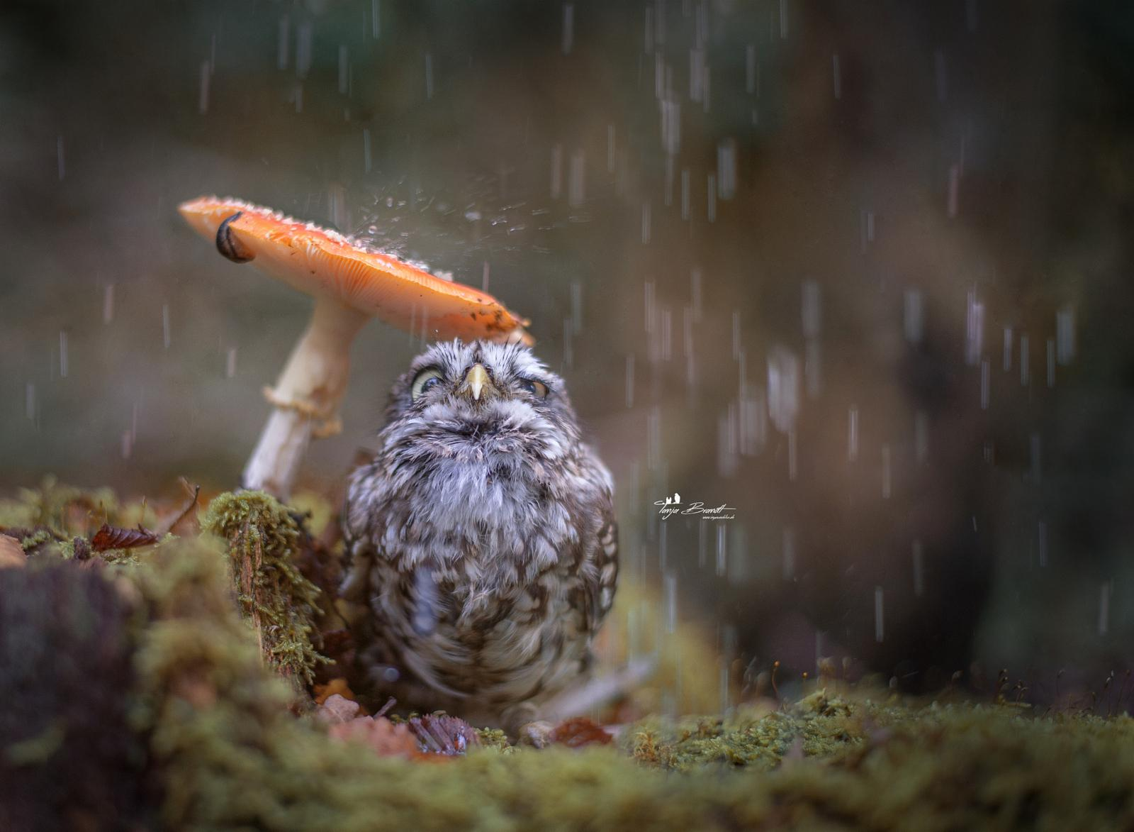 Owl using a mushroom to stay out of the rain
