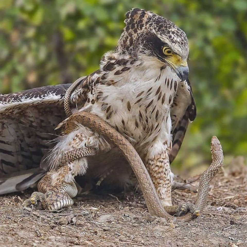 Rat snake dominated by crested serpent eagle