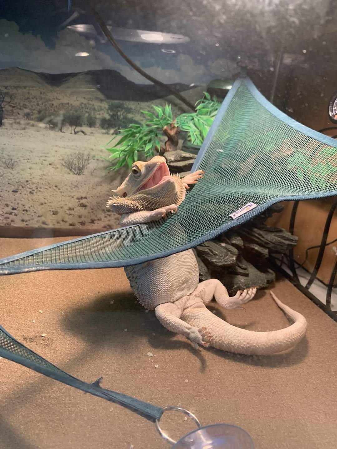 Bearded dragon trying to get on his hammock