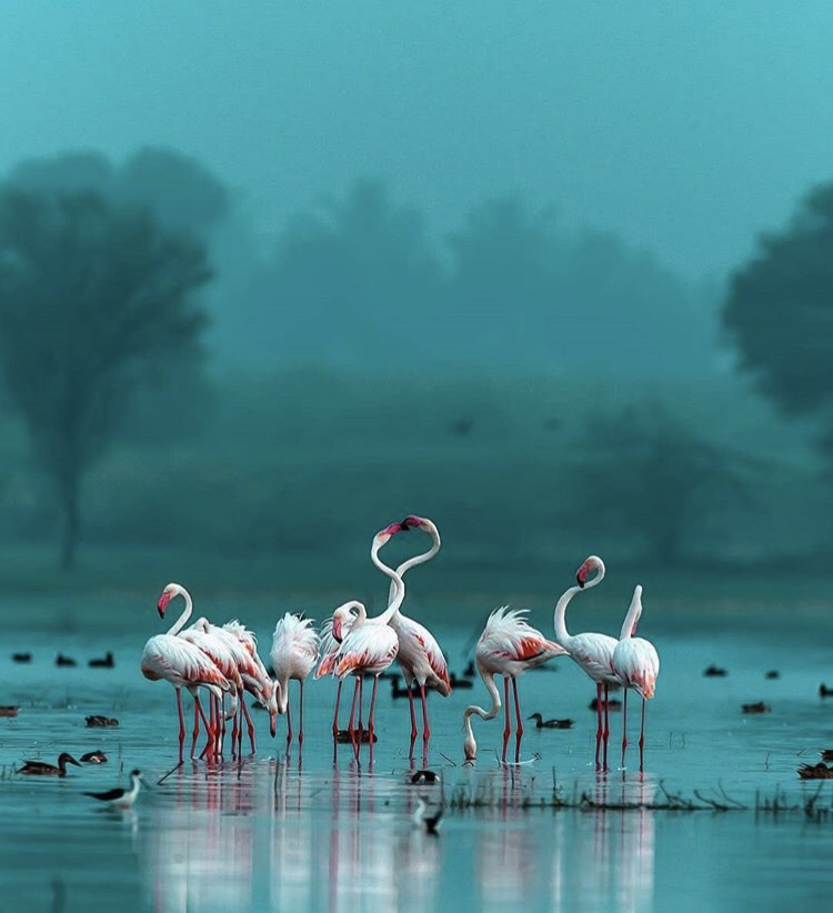 Flamingos in the morning