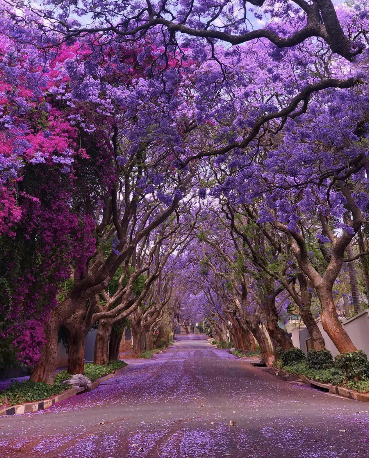 Jacaranda trees in Johannesburg, South Africa