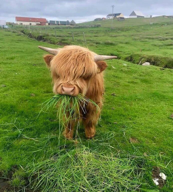 Just a hairy coo mowing the lawn