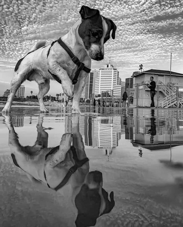 Dog stepping in puddle