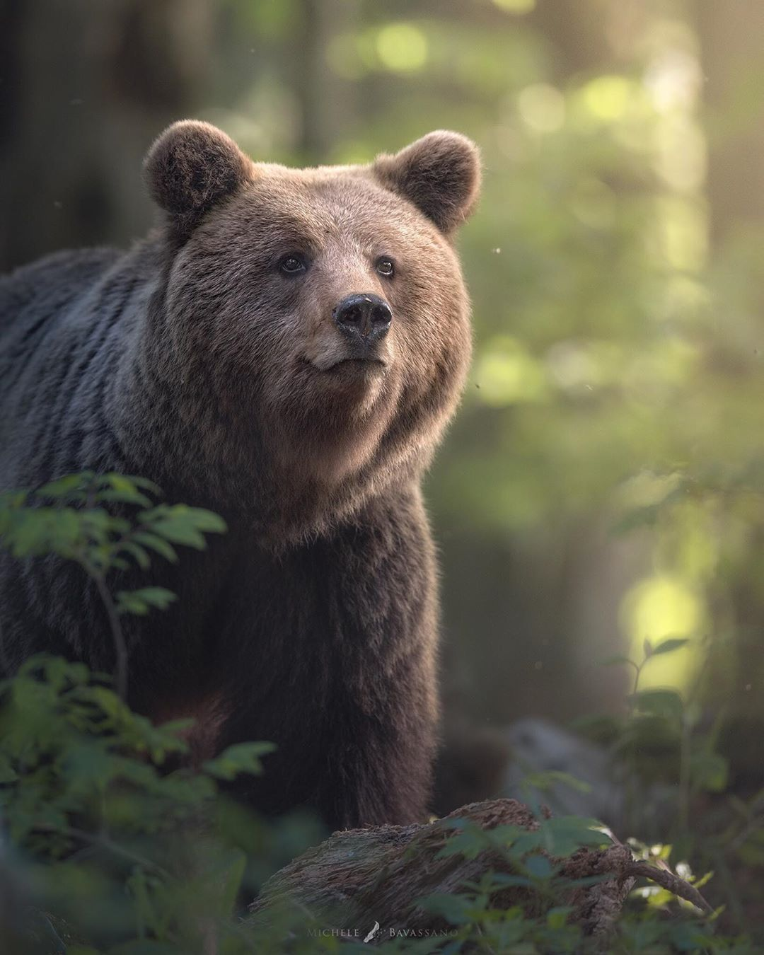 Positive, Hopeful Brown Bear during Golden Hour