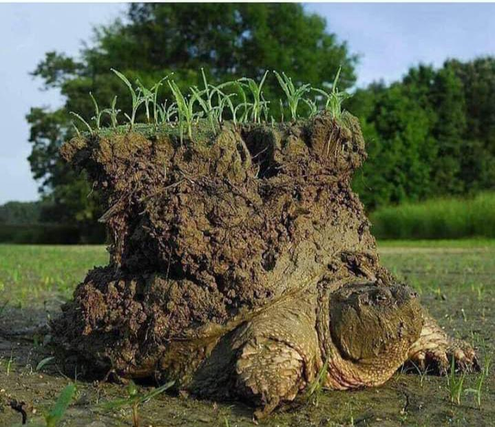 Snapping turtle emerging from hibernation. This guy buried itself quite deep