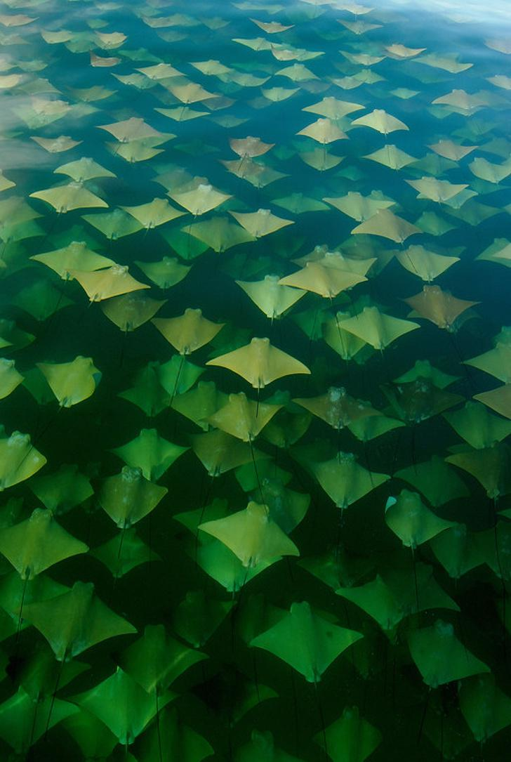 This stingray migration