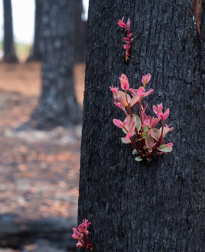 some plant species have evolved to re-sprout quickly after the Australian fires