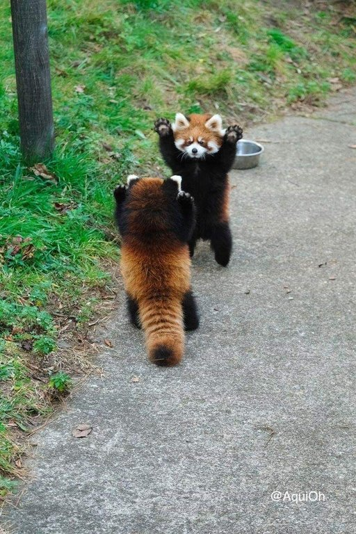 Red pandas looking shocked to see each other