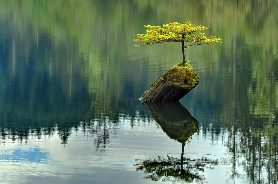 This bonsai tree naturally growing in the middle of a lake