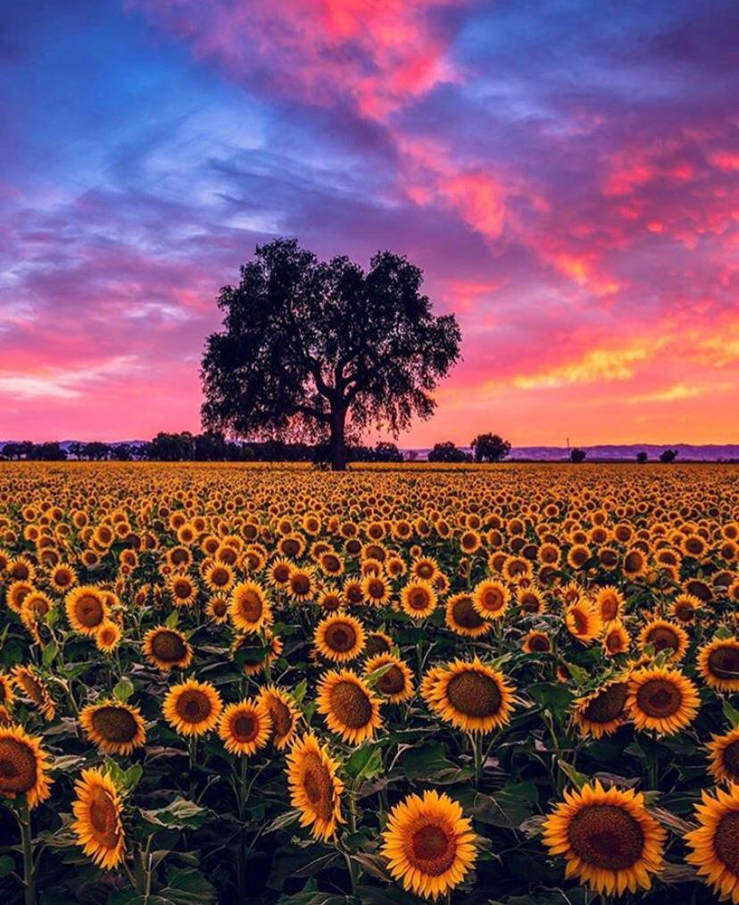 a sunflower garden
