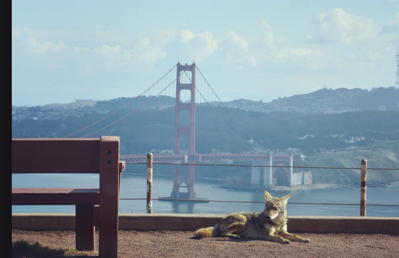 A coyote enjoys the view while the tourists are away