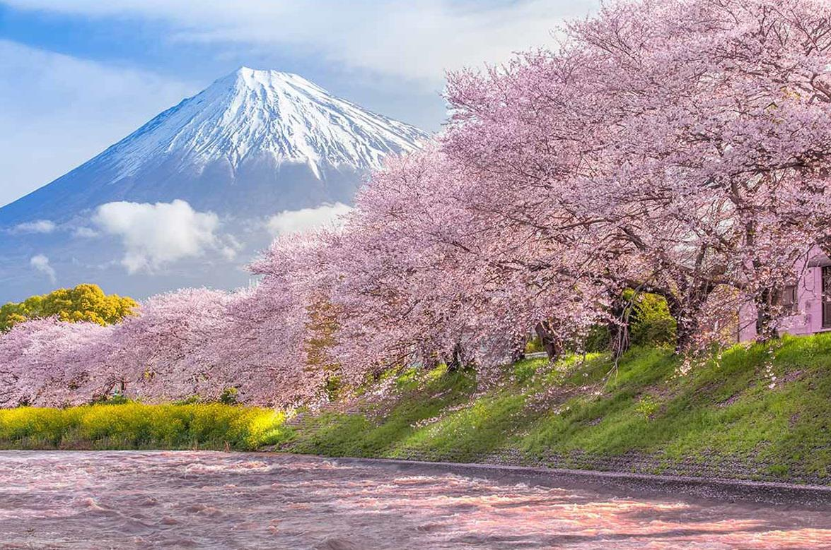 Cherry blossoms with the Mount Fuji in the background