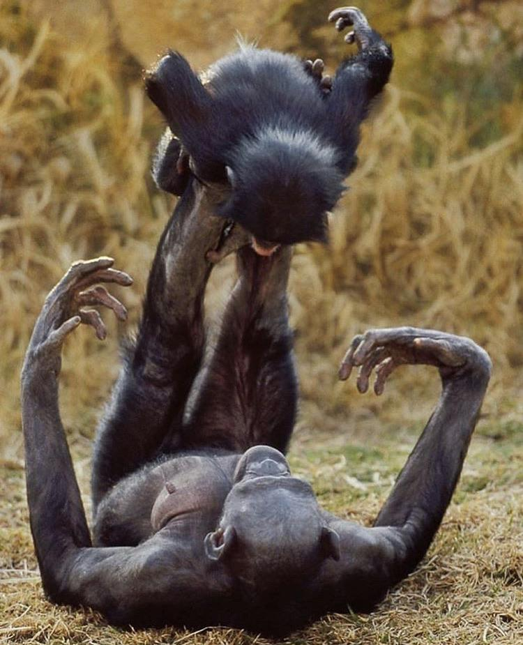 Female Bonobo playing with another female's infant by balancing it on her feet