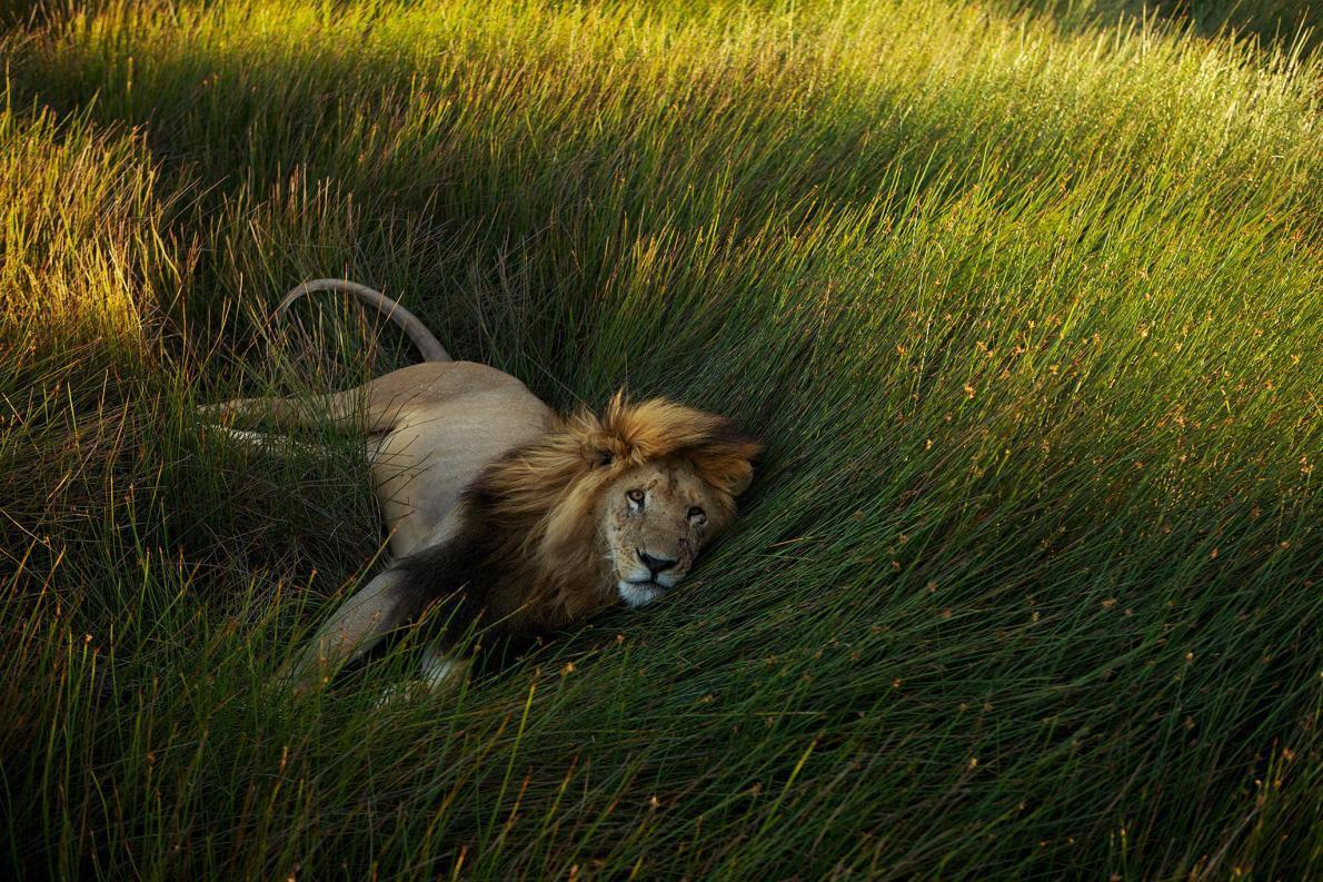 A lion resting in the grass