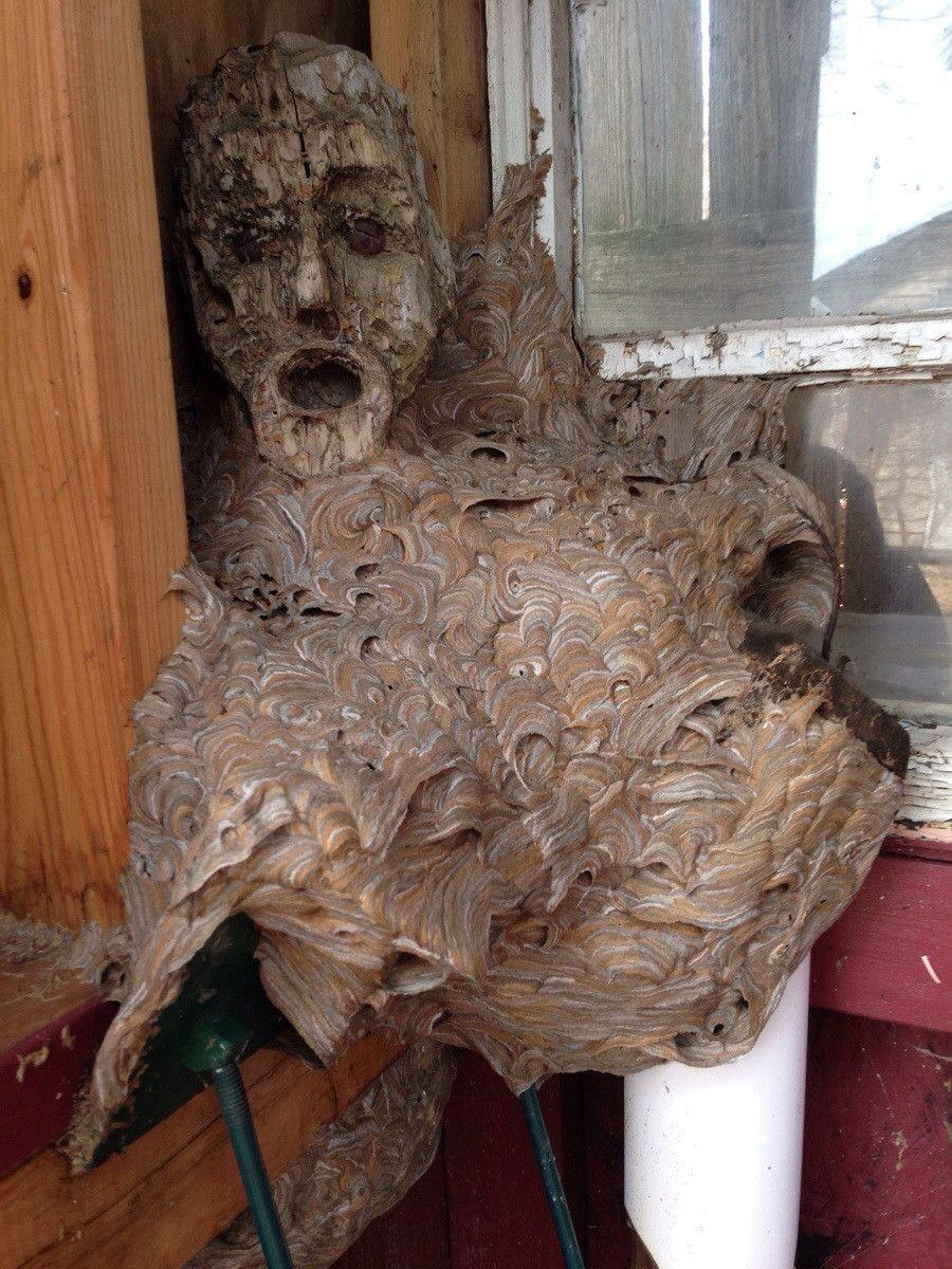 Hornet nest formed around a mask in a shed