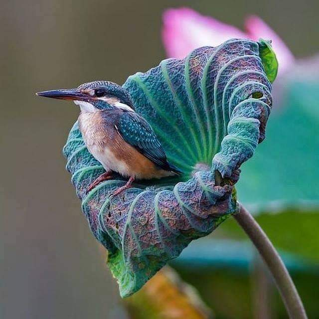Kingfisher inside a lotus flower