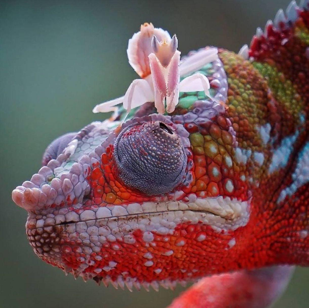 Panther Chameleon and Orchid Mantis