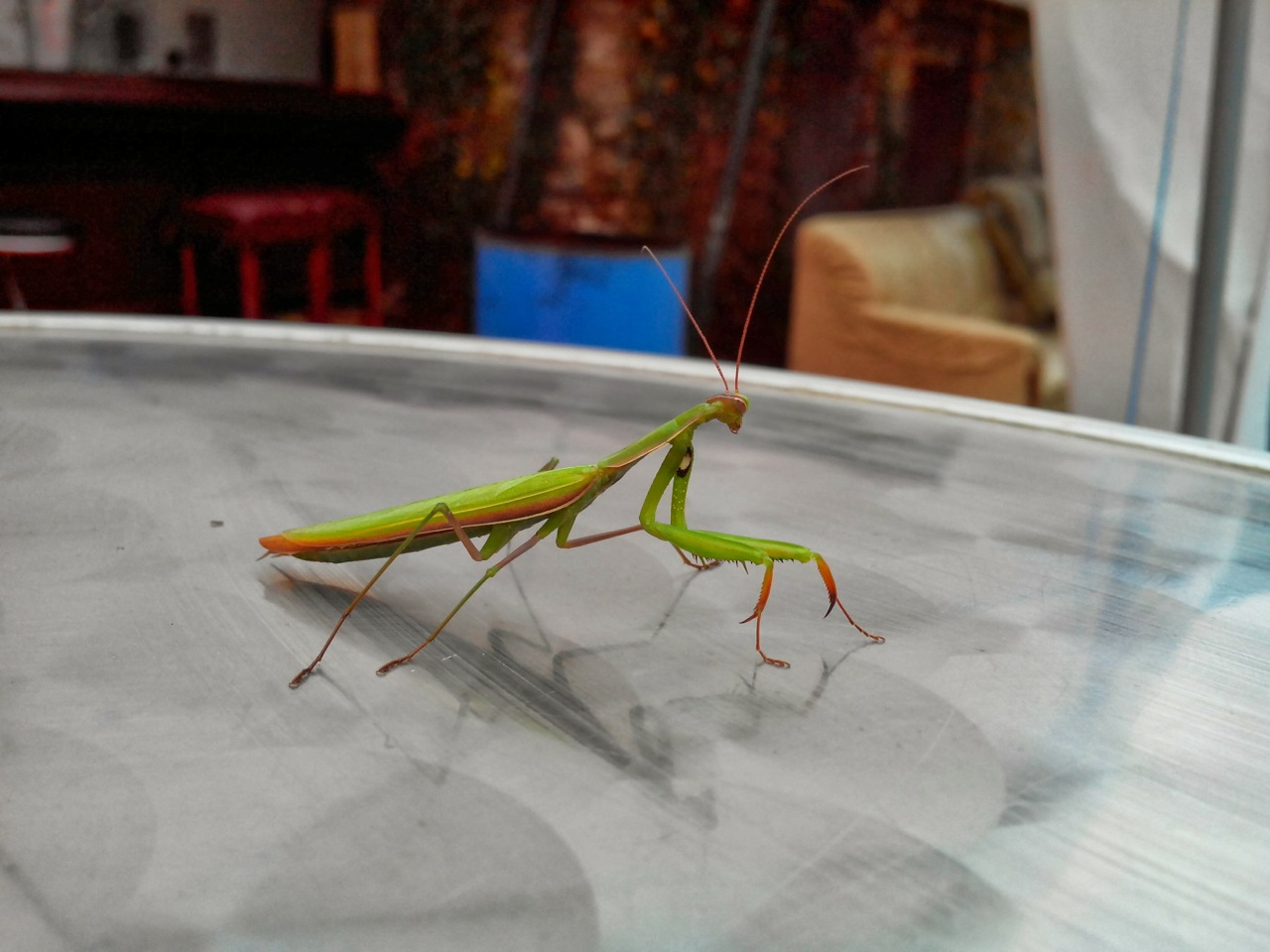 This prayer mantis lands on my coffee table