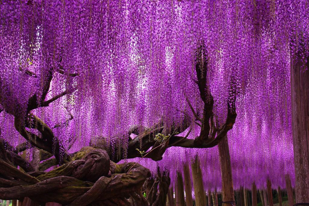 150 year old purple Wisteria