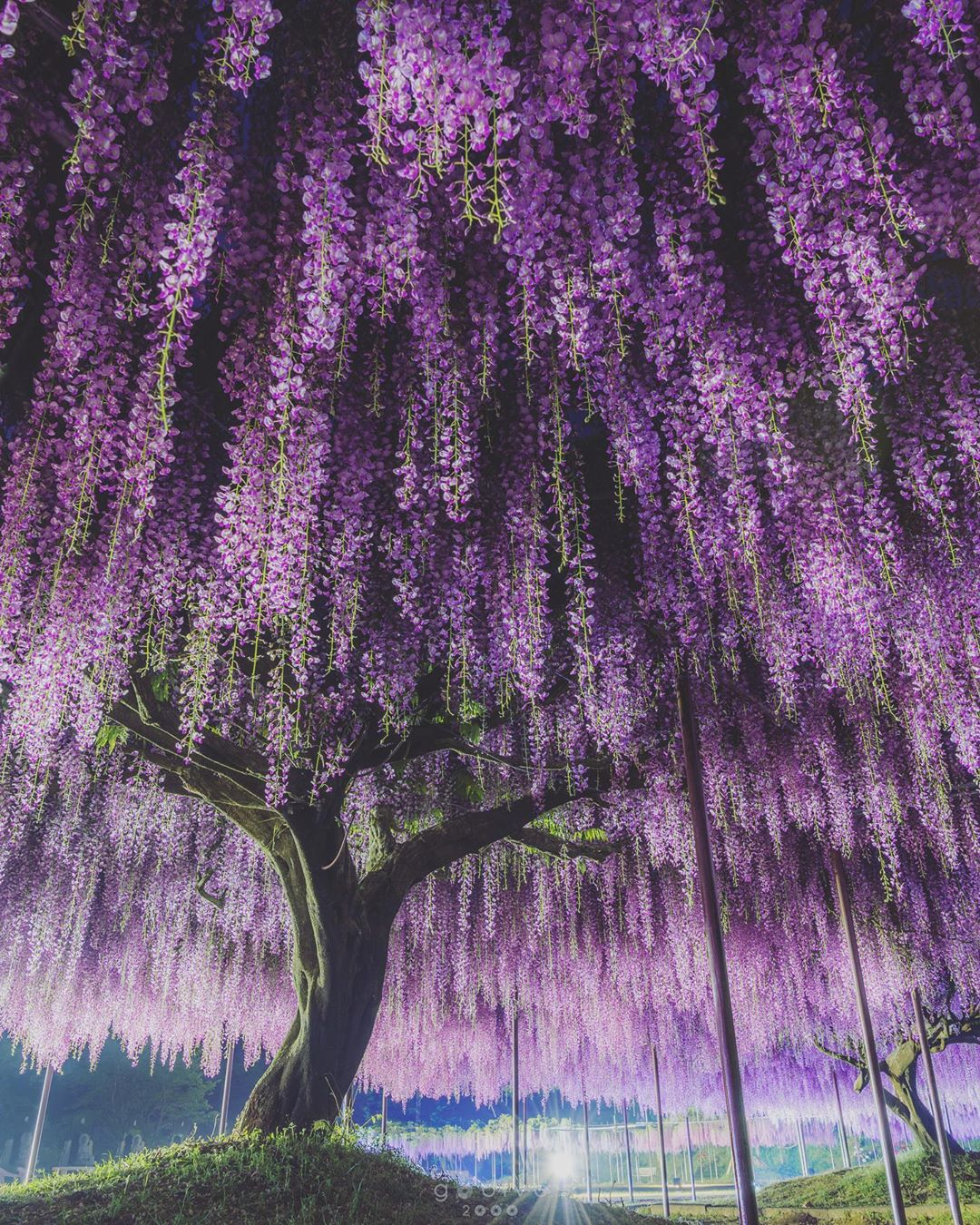 A stunning wisteria in the Hyògo Prefecture of Japan