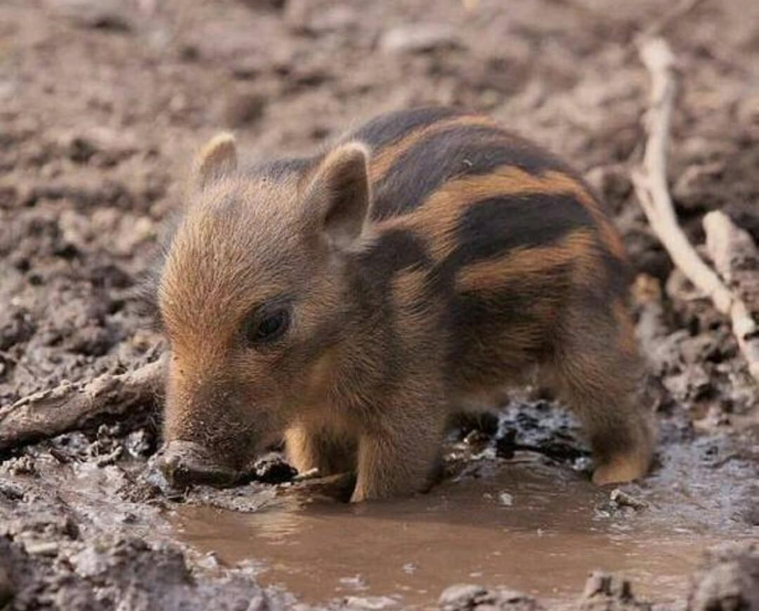 unbelievably cute wild boar piglet