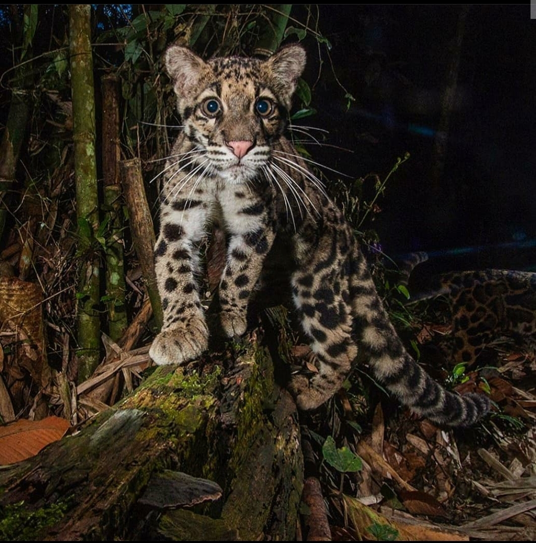 Juvenile clouded leopard checking out the camera