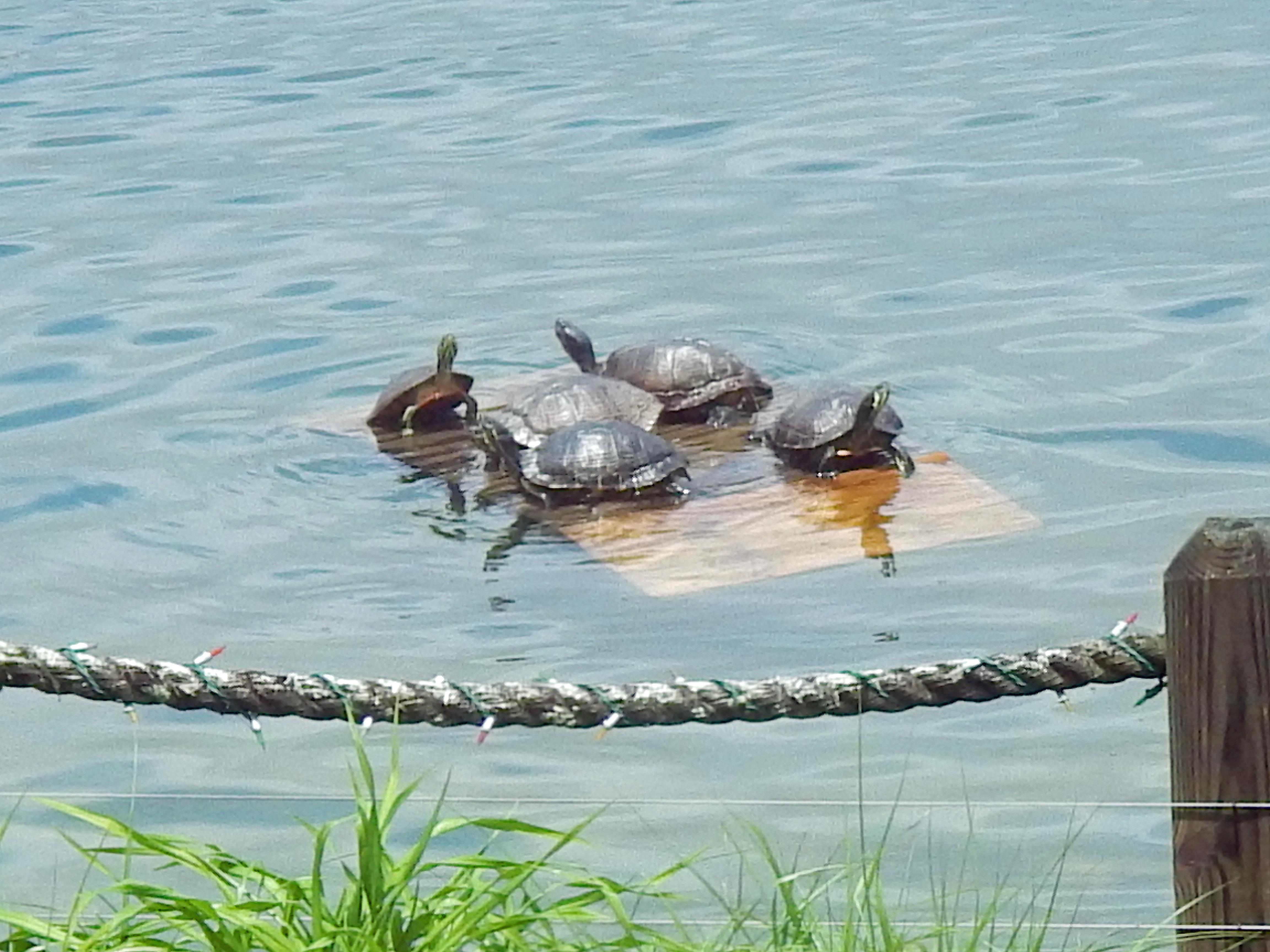 My grandfather built a floating dock for turtles in the lake by their house, and the turtles love it