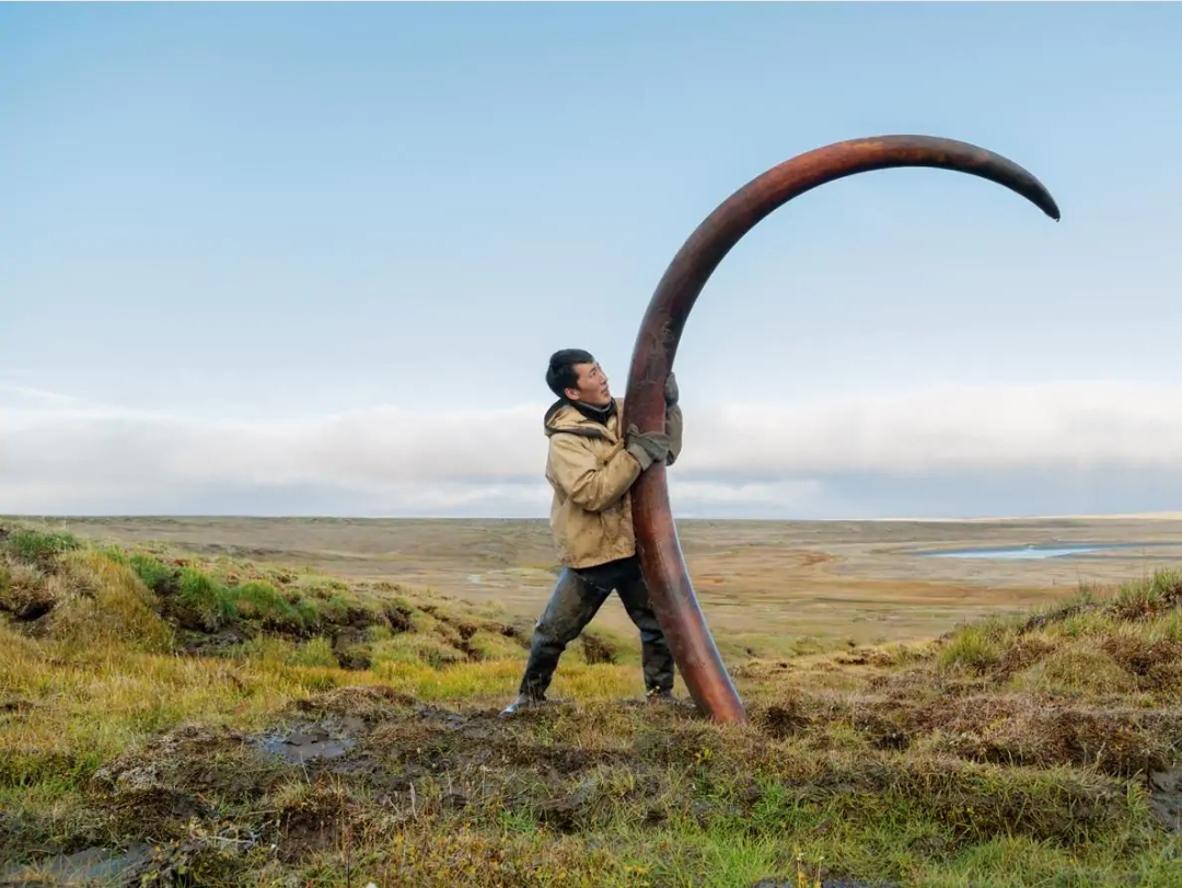 Tusk of a woolly mammoth most likely killed by ancient hunters,Siberia